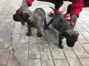 0-1 Month Female Purebred Bullmastiff | Dogs & Puppies for sale in Imo State, Owerri