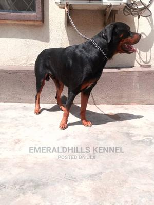 1+ Year Female Purebred Rottweiler   Dogs & Puppies for sale in Lagos State, Surulere