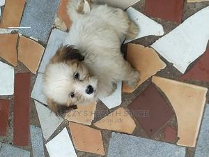 1-3 Month Male Purebred Lhasa Apso   Dogs & Puppies for sale in Lagos State, Amuwo-Odofin