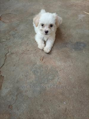 1-3 Month Male Purebred Lhasa Apso | Dogs & Puppies for sale in Lagos State, Ejigbo