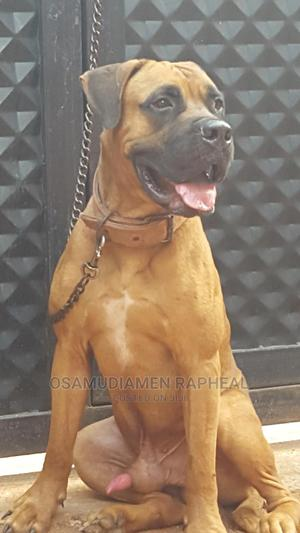 1+ Year Male Purebred Boerboel | Dogs & Puppies for sale in Edo State, Benin City