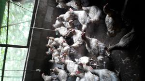 Matured Broiler Chickens for Sale | Livestock & Poultry for sale in Imo State, Owerri