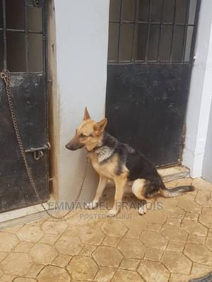 6-12 Month Male Mixed Breed German Shepherd   Dogs & Puppies for sale in Oyo State, Ibadan