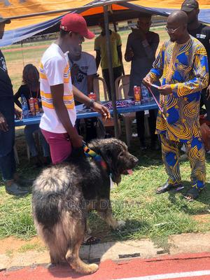 3-6 Month Male Purebred Caucasian Shepherd   Dogs & Puppies for sale in Kwara State, Ilorin West