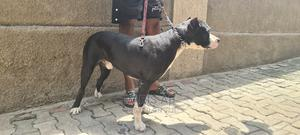 1+ year Male Purebred American Pit Bull Terrier   Dogs & Puppies for sale in Lagos State, Maryland