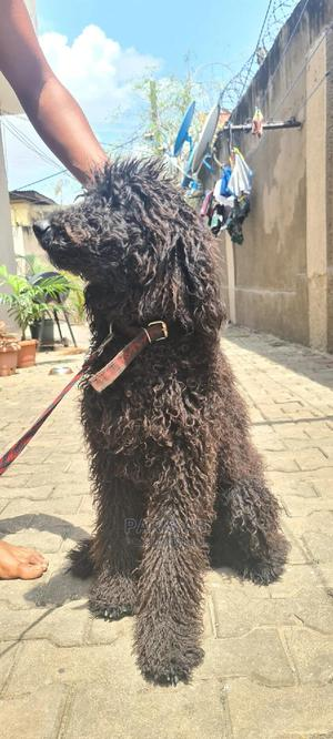 6-12 month Male Purebred Poodle | Dogs & Puppies for sale in Lagos State, Maryland