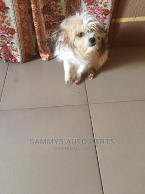 6-12 Month Male Purebred Lhasa Apso | Dogs & Puppies for sale in Lagos State, Oshodi