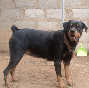 1+ Year Female Purebred Rottweiler | Dogs & Puppies for sale in Osun State, Osogbo