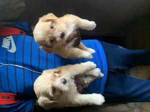 1-3 Month Male Purebred Lhasa Apso   Dogs & Puppies for sale in Rivers State, Port-Harcourt
