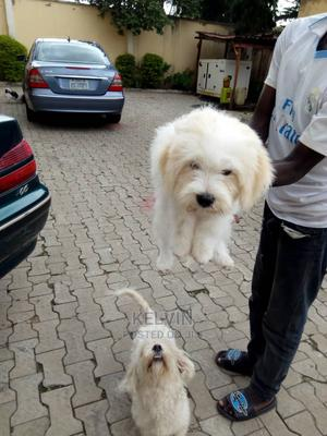 3-6 Month Male Purebred Lhasa Apso | Dogs & Puppies for sale in Abuja (FCT) State, Jahi