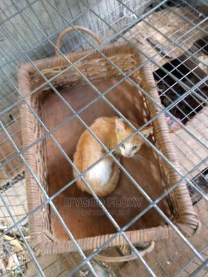 Cats and Other Animals   Other Animals for sale in Lagos State, Ikeja