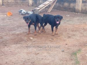 1-3 Month Female Purebred Rottweiler | Dogs & Puppies for sale in Ondo State, Akure