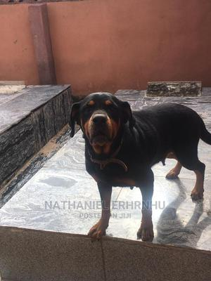 1+ Year Female Purebred Rottweiler | Dogs & Puppies for sale in Ondo State, Akure
