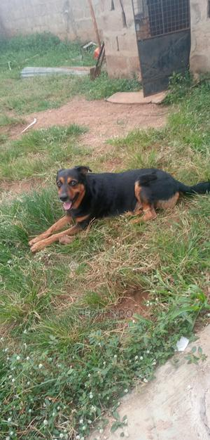 1+ year Male Mixed Breed German Shepherd | Dogs & Puppies for sale in Kwara State, Ilorin West