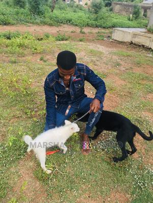 3-6 Month Female Purebred American Eskimo | Dogs & Puppies for sale in Kwara State, Ilorin West