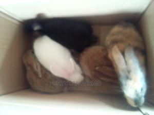 Rabbits Weaners/Young Rabbits for Sale.   Livestock & Poultry for sale in Ogun State, Abeokuta South