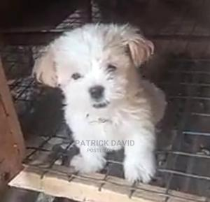 1-3 Month Female Purebred Lhasa Apso | Dogs & Puppies for sale in Lagos State, Ikoyi