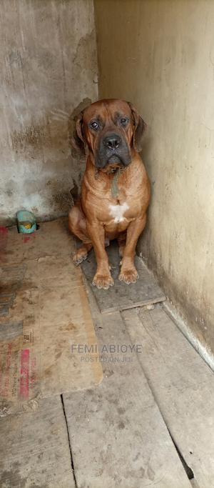 1+ Year Male Purebred Boerboel | Dogs & Puppies for sale in Ondo State, Akure