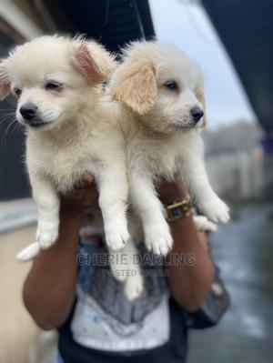 3-6 Month Female Purebred American Eskimo | Dogs & Puppies for sale in Akwa Ibom State, Uyo