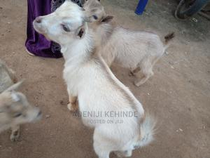 Make Goats for Sale   Other Animals for sale in Lagos State, Ikorodu