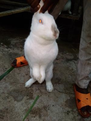 Mature Rabbit for Sale at Give Away Price | Livestock & Poultry for sale in Ogun State, Ijebu Ode