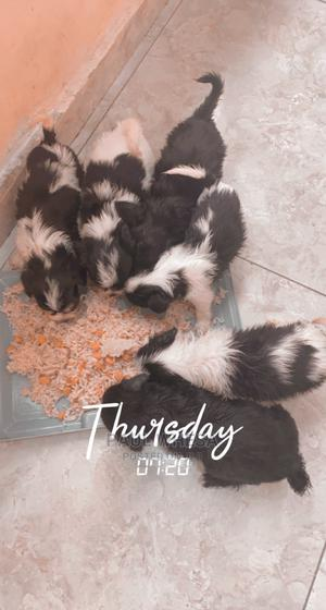0-1 Month Female Purebred Lhasa Apso   Dogs & Puppies for sale in Delta State, Warri