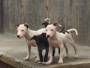 6-12 Month Female Purebred American Pit Bull Terrier | Dogs & Puppies for sale in Lagos State, Ikeja