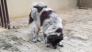 1+ Year Male Mixed Breed Chow Chow   Dogs & Puppies for sale in Lagos State, Ikorodu