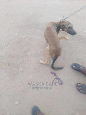 1+ Year Male Mixed Breed German Shepherd | Dogs & Puppies for sale in Lagos State, Kosofe