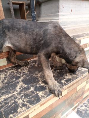 0-1 Month Male Mixed Breed German Shepherd   Dogs & Puppies for sale in Edo State, Benin City