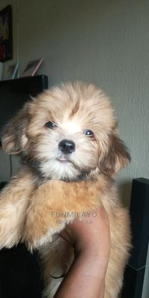 1-3 Month Male Purebred Lhasa Apso | Dogs & Puppies for sale in Lagos State, Yaba