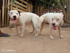1-3 Month Female Purebred American Pit Bull Terrier   Dogs & Puppies for sale in Abuja (FCT) State, Maitama
