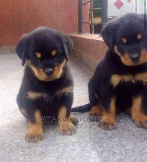 1-3 Month Female Purebred Rottweiler   Dogs & Puppies for sale in Rivers State, Port-Harcourt