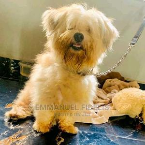 1+ Year Male Purebred Lhasa Apso   Dogs & Puppies for sale in Edo State, Benin City