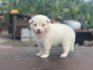 0-1 Month Female Purebred American Eskimo | Dogs & Puppies for sale in Lagos State, Ikeja