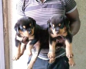 1-3 Month Female Purebred Rottweiler   Dogs & Puppies for sale in Kaduna State, Kaduna / Kaduna State