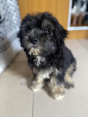 1-3 Month Male Purebred Lhasa Apso   Dogs & Puppies for sale in Lagos State, Alimosho