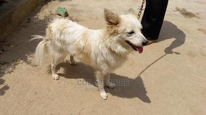 1+ Year Male Purebred American Eskimo | Dogs & Puppies for sale in Abuja (FCT) State, Kubwa
