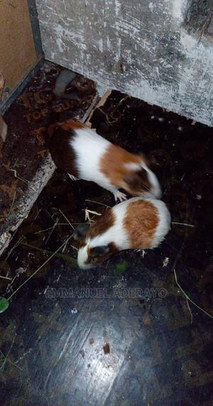 Guinea Pigs | Livestock & Poultry for sale in Lagos State, Epe