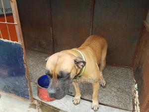 1+ Year Female Purebred Boerboel | Dogs & Puppies for sale in Lagos State, Mushin