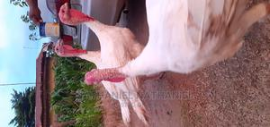 Big Turkeys 4 Sale | Livestock & Poultry for sale in Abuja (FCT) State, Lugbe District