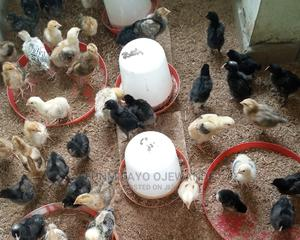 Kuroiler Birds, Broiler, Turkey, and Rabbits | Livestock & Poultry for sale in Ekiti State, Ado Ekiti