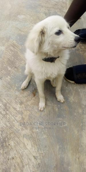 3-6 Month Male Purebred American Eskimo | Dogs & Puppies for sale in Lagos State, Abule Egba