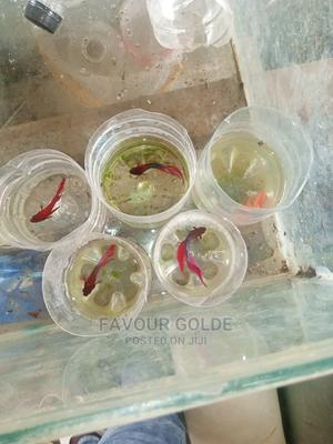 Beta Fishs   Fish for sale in Lagos State, Surulere