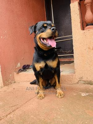 1+ Year Male Purebred Rottweiler   Dogs & Puppies for sale in Enugu State, Enugu