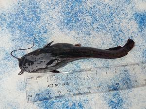 Catfish Fingerlings, Post-fingerlings, Juveniles | Livestock & Poultry for sale in Rivers State, Ogba/Egbema/Ndoni