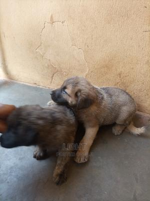 1-3 Month Female Mixed Breed Caucasian Shepherd | Dogs & Puppies for sale in Edo State, Benin City