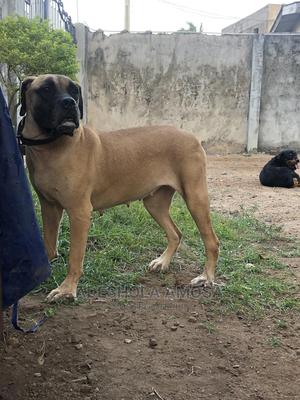 1+ Year Female Purebred Boerboel   Dogs & Puppies for sale in Lagos State, Maryland