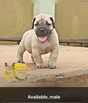 1-3 Month Female Purebred Boerboel | Dogs & Puppies for sale in Delta State, Oshimili South