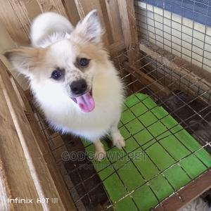 6-12 Month Male Mixed Breed Pomeranian | Dogs & Puppies for sale in Lagos State, Surulere